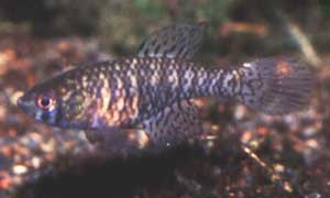 Simpsonichthys spec. Xingu