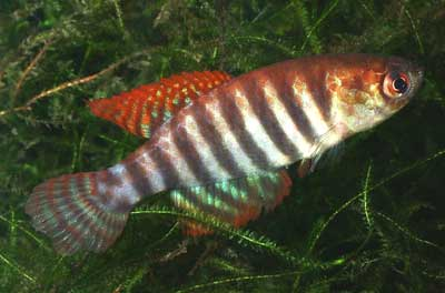 Simpsonichthys delucai
